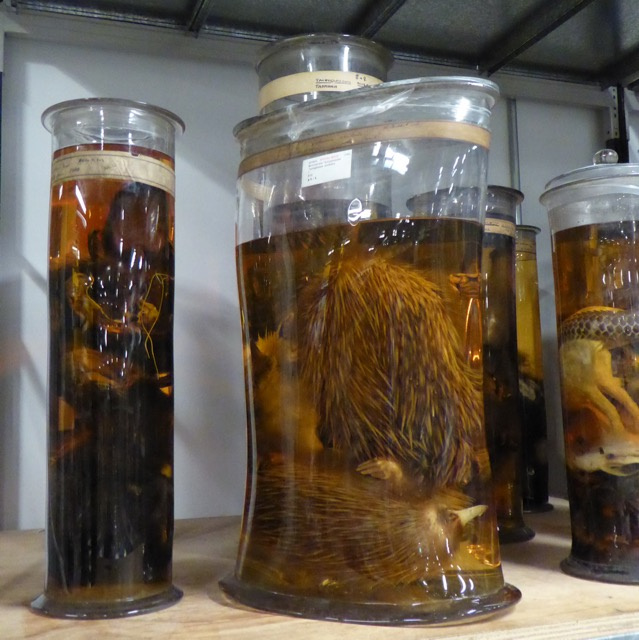 Pickled duck-billed platypus and echidas